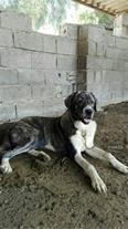 فروش سگ افغان فوق العاده درشت - 1