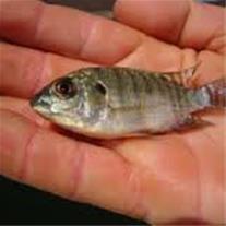 فروش بچه ماهی تیلاپیا پرورشی