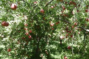 فروش سیب سرخ درجه یک فرانسه ارگانیک