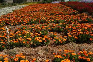 بذر گل های فصلی کیمیا