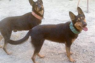 فروش دوعدد سگ ژرمن شیپر نه ماه نر و ماده