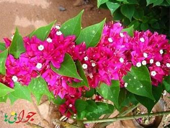 فروش انواع گل و گلدان - 1