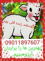 گوسفند زنده در مشهد ، گوسفند زنده