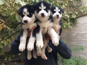 فروش ویژه توله سیبرین هاسکی  - فروش سگ هاسکی - 1