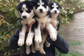 فروش ویژه توله سیبرین هاسکی  - فروش سگ هاسکی