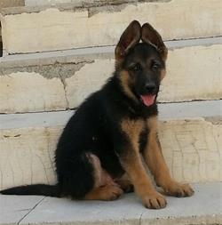 خرید سگ نگهبان ، سگ گارد ، فروش هاسکی - ژرمن شپرد - 1