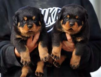 فروش سگ نگهبان ، سگ گارد - روتوایلر - 1