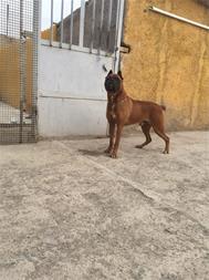 فروش ویژه توله باکسر  - فروش سگ باکسر - 1