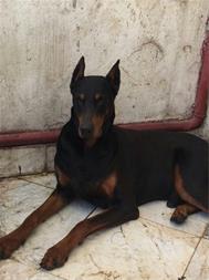 فروش انواع نژاد سگ ، خرید و فروش سگهای گارد - 1
