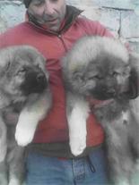 فروش ویژه توله سگ قفقازی  - فروش سگ قفقازی