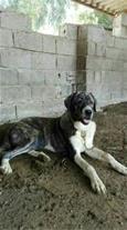 فروش توله سگ 8 ماهه افغان