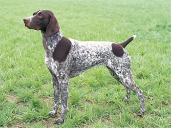 فروش ویژه توله پوینتر  - فروش سگ پوینتر - 1