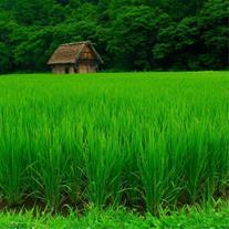 فروش برنج هاشمی درجه یک گیلان