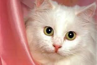مشاوره خرید حیوانات اصیل توسط کلینیک دامپزشکی چیتا - 1