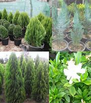 تولید و فروش کلیه گلها و گیاهان فضای باز کاج،کامیس