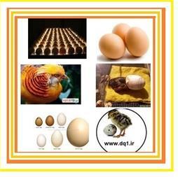 فروش تخم نطفه دار ،  تخم غاز اردک بوقلمون بلدرچین - 1