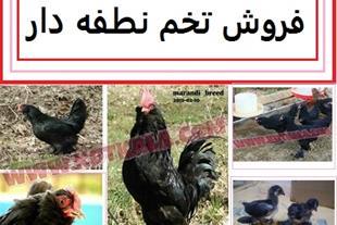 فروش مرغ تخم گذار نژاد مرندی -  فروش تخم نطفه دار - 1