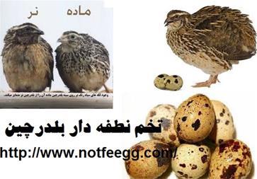 فروش تخم نطفه دار و خوراکی بلدرچین - 1