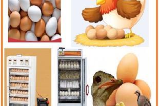 فروش تخم نطفه دار ، فروش جوجه مرغ زینتی