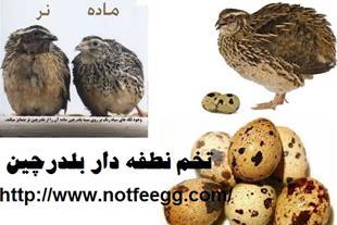 فروش تخم نطفه دار و خوراکی بلدرچین
