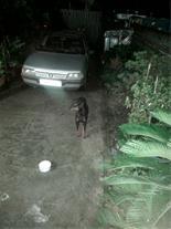 فروش سگ دوبرمن اصیل واکس خورده چهار ماهه