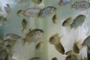 بچه ماهی تیلاپیا پرورشی