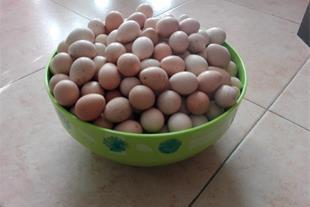 فروش تخم نطفه دار کبک (ایران کبک) - 1