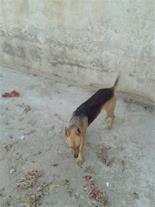 فروش یک جفت سگ نگهبان باغ ژرمن نر و ماده