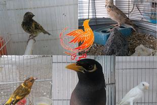 پرنده های آوازه خوان و سخنگو