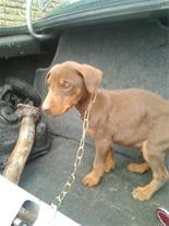 فروش سگ دوبرمن دوماهه بلوطیه قرمز