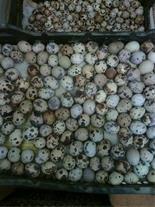 خریدار تخم خوراکی بلدرچین . تخم مرغ محلی بومی