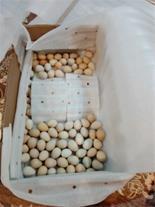 تخم نطفه دار کبک ( ایران کبک )