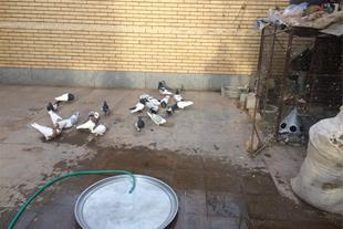 فروش کبوتر سرسیاه