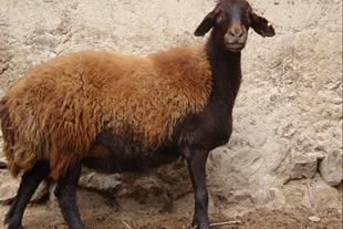 گوسفند زنده - فروش گوسفند زنده