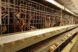 فروش تخم نطفه دار کبک در ایران کبک