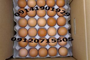 فروش عمده تخم محلی