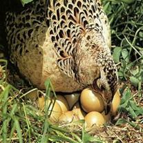 خریدار تخم خوراکی بلدرچین