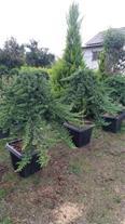 فروش درختچه - نهال و گل و گیاه