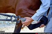 آموزش نعل بندی طبی اسب