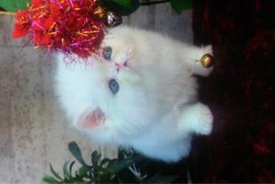 بچه گربه سوپر فلت