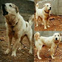 فروش ویژه سگ ترکمن الابای