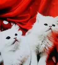 فروش دو بچه گربه پرشین سوپر فلت شناسنامه دار