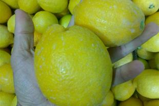 فروش لیمو ترش ( لیمو سنگی )