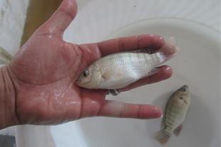 فروش عمده بچه ماهی تیلاپیا