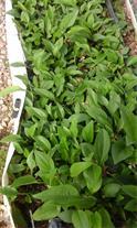پیش فروش و فروش نشا گیاهان دارویی