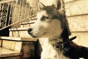 فروش سگ هاسکی اصیل چهار ماهه