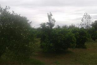 فروش باغ میوه 1137 متر