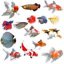 ماهی زینتی آکواریوم