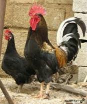 خرید و فروش مرغ و خروس خانگی