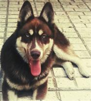 فروش سگ هاسکی اصیل یکساله